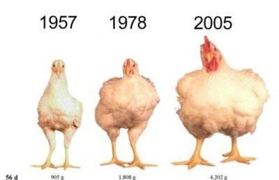 Sostanze nei polli per farli crescere in fretta=Tossiemia - addiotossine