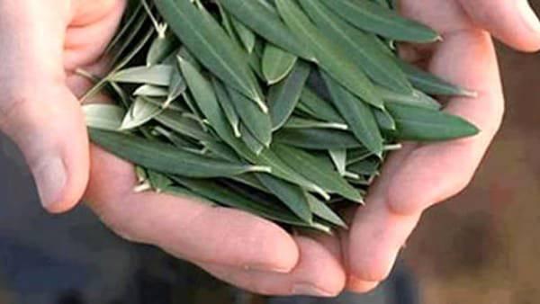 foglie d'olivo - addiotossine