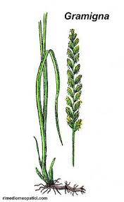 gramigna alleata - addiotossine